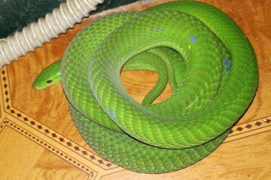 Pregnant green mamba found in KZN home