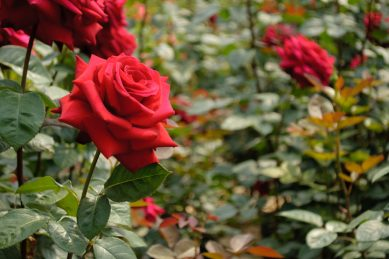 Espaliering: The glory of trained roses