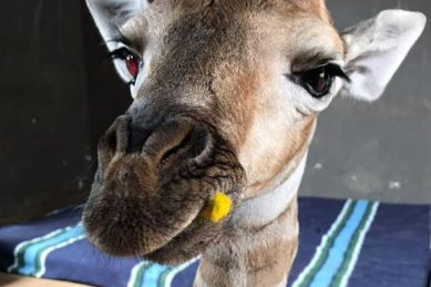 Baby giraffe rescue a first for Limpopo-based rhino orphanage