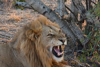 Young woman mauled, killed by lions at Limpopo game reserve - Citizen