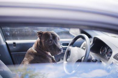 Vanderbijlpark woman issued R1K fine for dog sitting on passenger seat