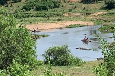 'Mysterious' death of pod of hippos in Kruger Park being investigated
