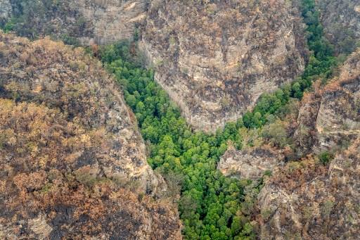 IN PICS: Secret mission saves Australia's 'dinosaur trees' from bushfires