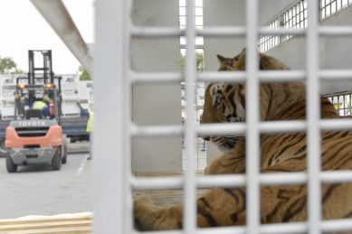 IN PICS: From circus cages to veld – big cats finally taste freedom