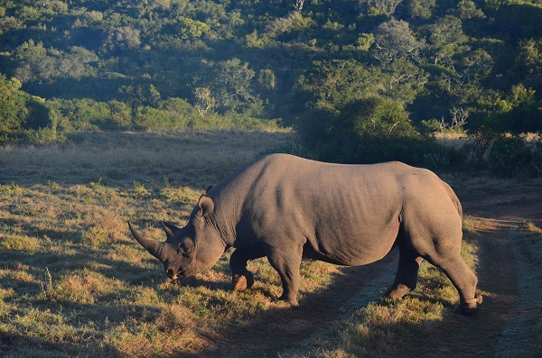 Police launch manhunt after two rhinos were found killed and on dehorned