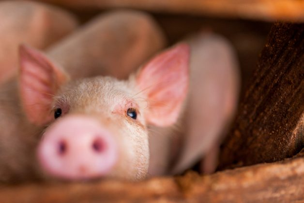 Eastern Cape villages hit by outbreak of African Swine Fever
