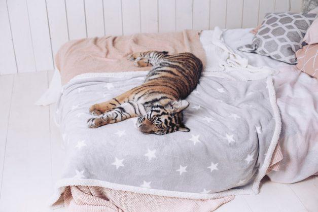 Sandton's Tiger Kugel has animal rights groups on edge