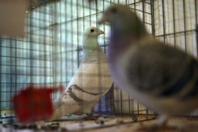 WATCH: Pigeon sells for record R29m to Chinese fancier