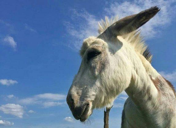 Meet Buckwheat, the donkey you can hire to crash Zoom meetings
