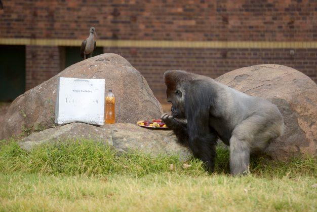 Gallery: Joburg Zoo's gorilla, Makokou, turns 35