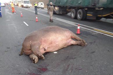 Hippo dead following four-car crash in Mpumalanga