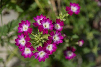 Revamp your garden with vibrant verbena