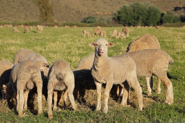 Live sheep exports by sea will continue – with or without SA, says major meat producer