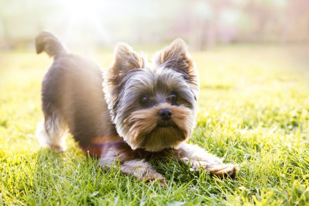 How to choose the right dog breed for your family: Terriers and toys