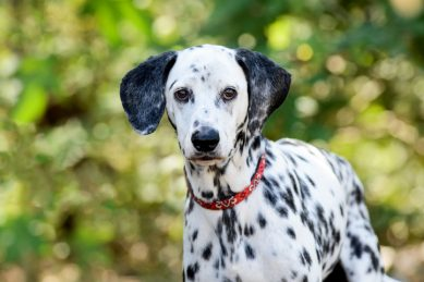 How to choose the right dog breed for your family: Dalmatians