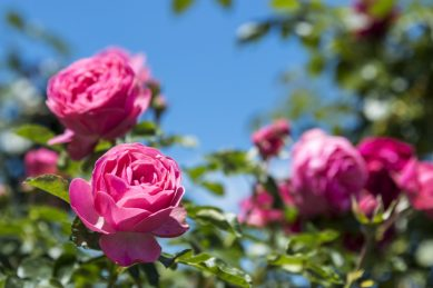 How to get your rose garden in shape