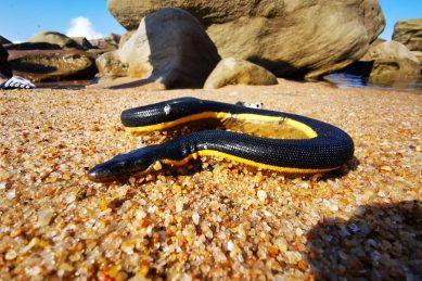 PICS: Venomous sea snake washes up on uMhlanga Beach