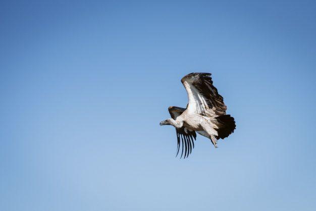 10 critically endangered vultures found dead in KZN