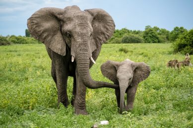 Celebrate World Elephant Day by taking a virtual walk with the majestic creatures