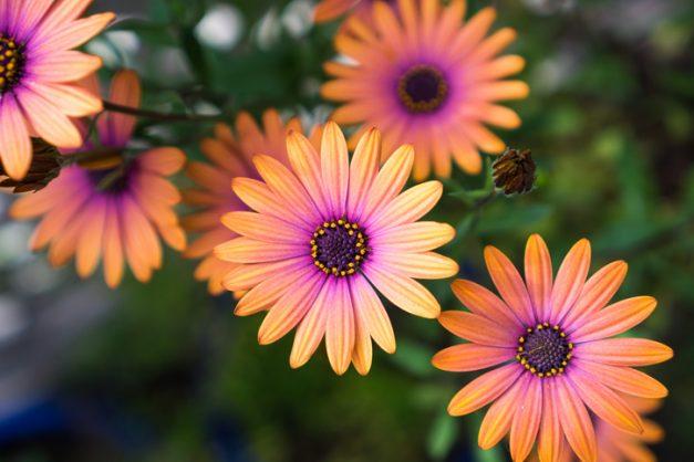 Get Namaqualand at your door with osteospermum daisies