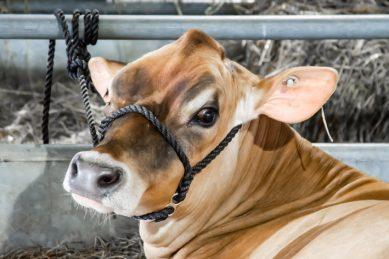 Cow escapes slaughter, kills elderly woman