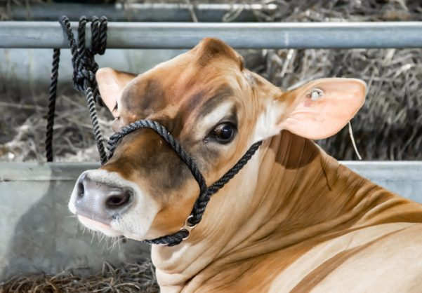 Humans 'have no need for cow milk'