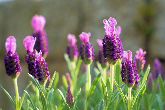 Grow your own lavender to relieve stress naturally