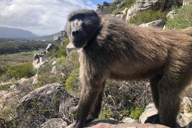 Kataza the baboon returns to his native troop on Slangkop