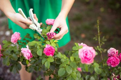 Rosy October: blooming beautiful: care for your bushes