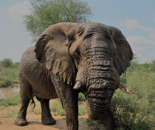 Decision made to put down Riff Raff, the 'problem' elephant
