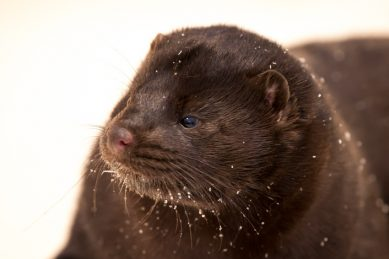 Danish mink breeders stage tractor demonstrations against govt call to cull animals