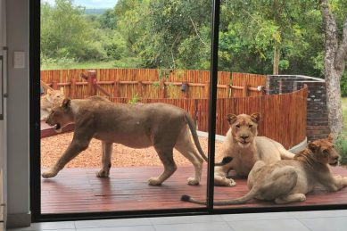 WATCH: Eish, there's a lion on my stoep