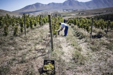 No irrigation, no chemicals: SA's wine 'paradise' goes its own way