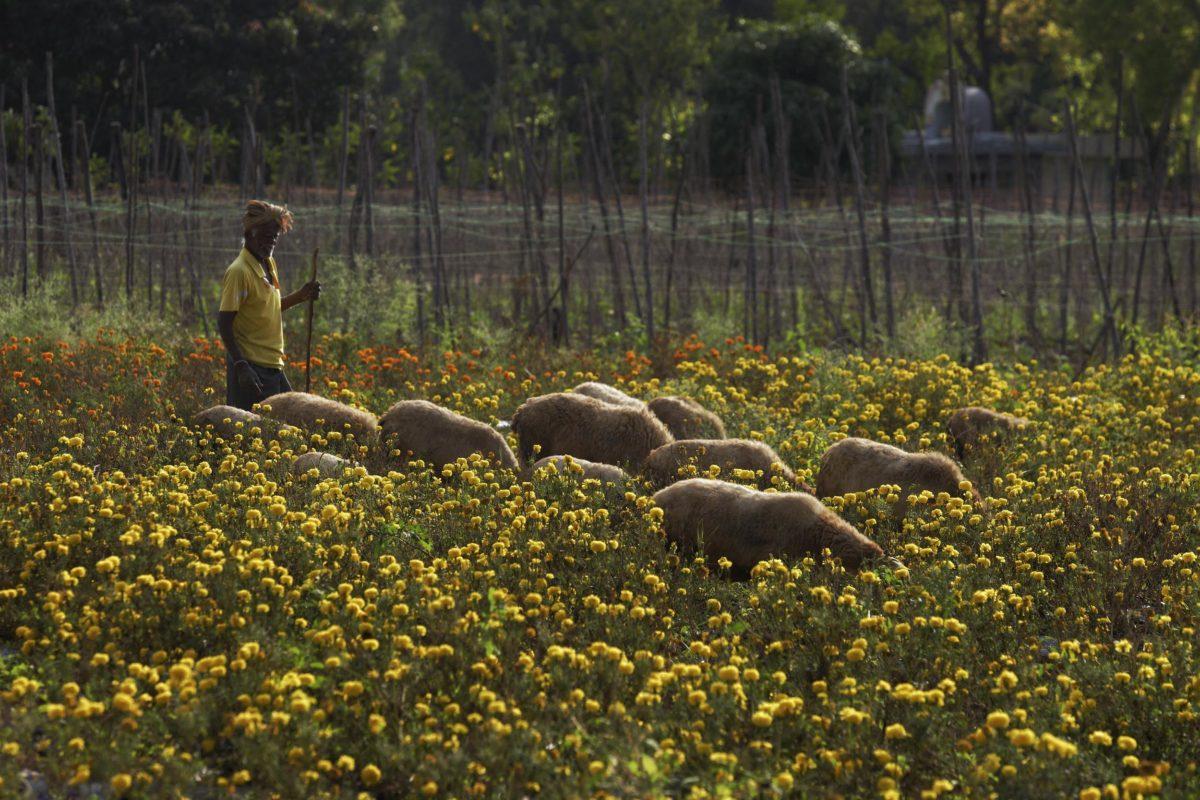 India farmer with sheep