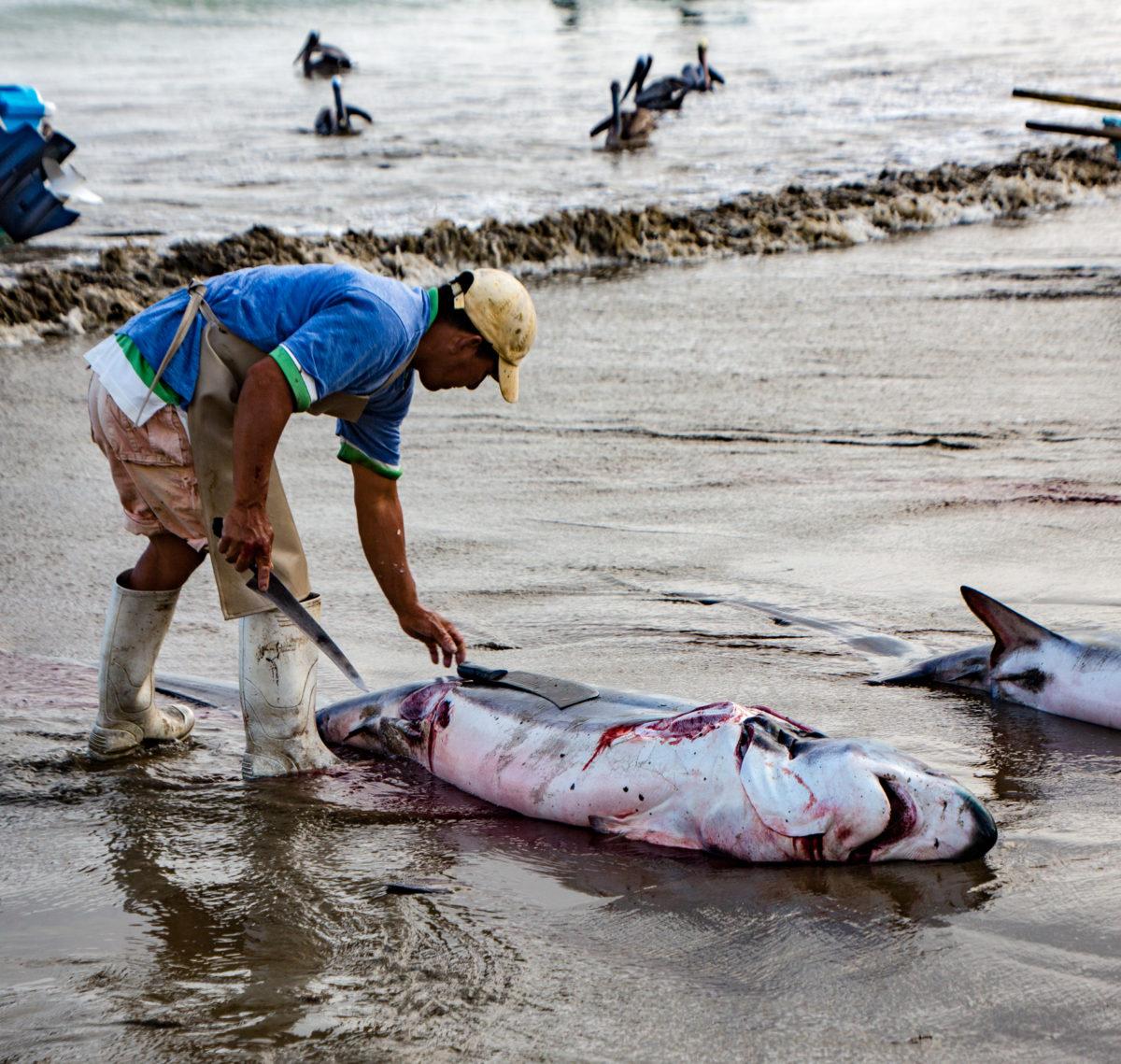 Dead shark being cut