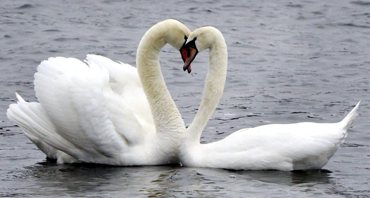 Finland swans