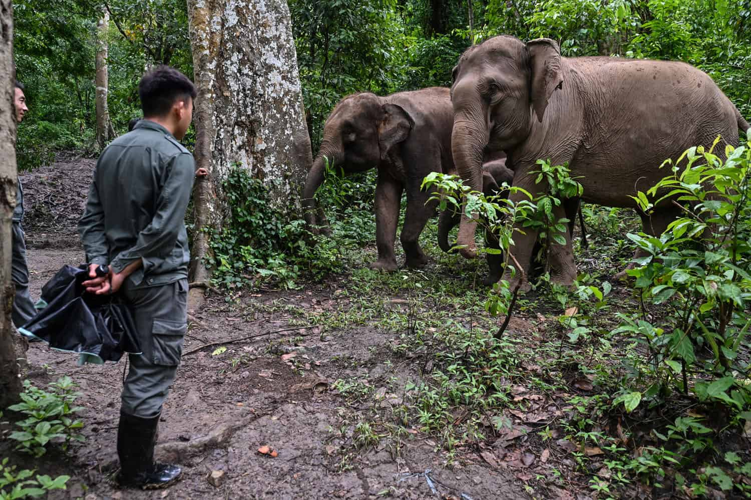 This photo taken on July 20, 2021 shows a conservation worker (R) standing near elephants as they walk in a forest in the Asian Elephant Breeding and Rescue Centre in Xishuangbanna in southwest China's Yunnan province. - An elephant in the street is now a common sight for residents of the animals' home territory on the Myanmar-Laos border, where a recovering elephant population is being squeezed into ever-shrinking habitat, leading to growing human-elephant conflict. (Photo by Hector RETAMAL / AFP) / TO GO WITH AFP STORY China-animal-nature-conservation by Dan Martin