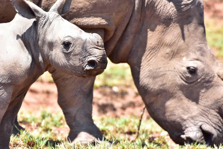 Baby rhino spotted at Pilanesberg National Park