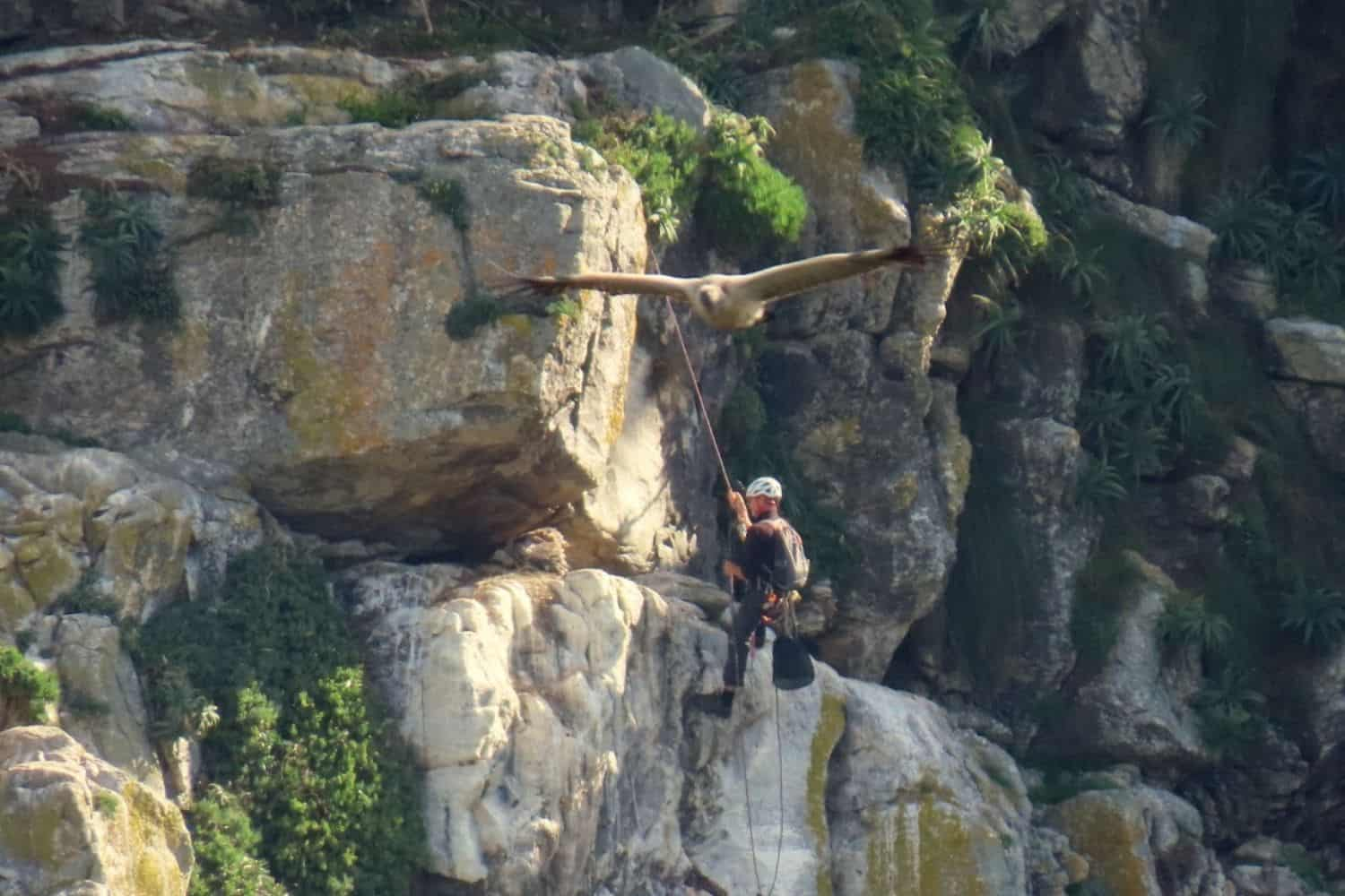 Cape vultures get a lifeline with satellite tracking programme
