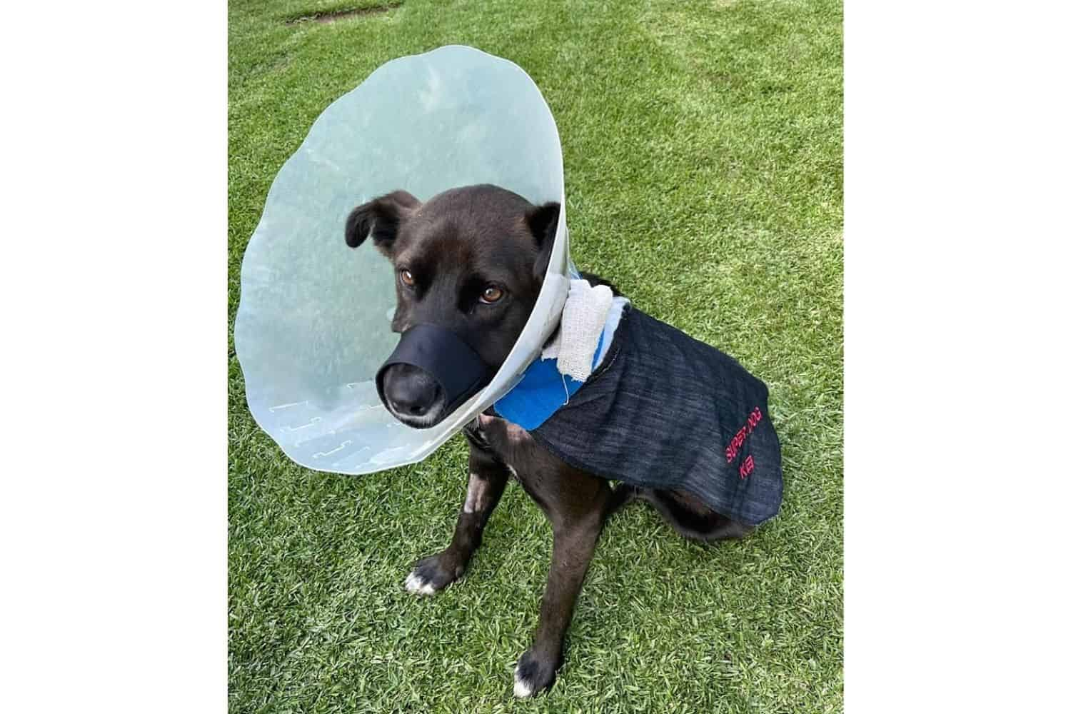 Hero dog shot in house robbery to have vet bills paid for by pet insurer